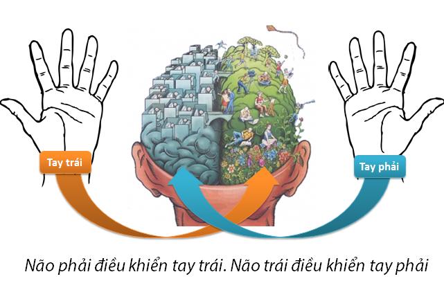 Hình ảnh minh họa sự liên kết giữa 2 bán cầu não và 2 tay
